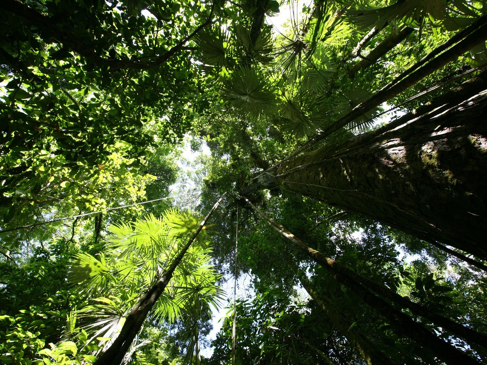-downloadfiles-wallpapers-1600_1200-rainforest_canopy_wallpaper_plants_nature_wallpaper_1600_1200_1126